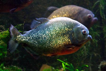 cdv-piranha